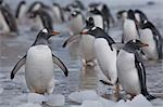 Gentoo Penguins on Beach, Antarctica Stock Photo - Premium Rights-Managed, Artist: Jamie Scarrow, Code: 700-03484594