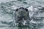 Close-up of Leopard Seal, Antarctica Stock Photo - Premium Rights-Managed, Artist: Jamie Scarrow, Code: 700-03484599