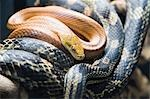 Rat Snakes, Florida, USA Stock Photo - Premium Rights-Managed, Artist: Bryan Reinhart, Code: 700-03484694