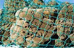 Sponges from Gulf of Mexico in Net, Florida, USA Stock Photo - Premium Rights-Managed, Artist: Bryan Reinhart, Code: 700-03484697