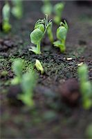 Close up of pea seedlings Stock Photo - Premium Rights-Managednull, Code: 822-03485633