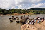Pinnewala Elephant Orphanage near Kegalle, Hill Country, Sri Lanka, Asia Stock Photo - Premium Rights-Managed, Artist: Robert Harding Images, Code: 841-03489567