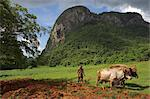 Peasant farmer ploughing field with his two oxen, Vinales, Pinar del Rio province, Cuba, West Indies, Central America