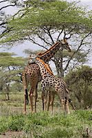 serengeti national park - Masai Giraffe (Giraffa camelopardalis tippelskirchi) mother and young, Serengeti National Park, Tanzania, East Africa, Africa Stock Photo - Premium Rights-Managednull, Code: 841-03490172