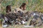 African Wild Dog (Lycaon pictus) pups sleeping in grass, Mashatu Game Reserve, Northern Tuli Game Reserve, Botswana Stock Photo - Premium Royalty-Free, Artist: Robert Harding Images, Code: 682-03490431