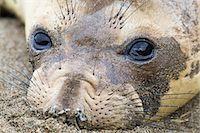 Male Northern Elephant Seal at Piedras Blancas, Big Sur Coast, California, USA Stock Photo - Premium Rights-Managednull, Code: 700-03501233