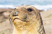 Portrait of Female Northern Elephant Seal at Piedras Blancas, Big Sur Coast, California, USA Stock Photo - Premium Rights-Managednull, Code: 700-03501235