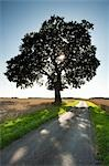Beech Tree and Country Lane through Wheat Field Stock Photo - Premium Rights-Managed, Artist: JW, Code: 700-03501307