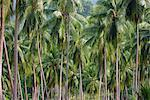 Coconut Palms, Koh Samui, Thailand, Southeast Asia, Asia Stock Photo - Premium Rights-Managed, Artist: Robert Harding Images, Code: 841-03502443