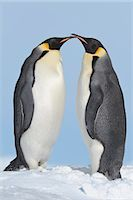 Emperor Penguins, Snow Hill Island, Antarctic Peninsula Stock Photo - Premium Royalty-Freenull, Code: 600-03503053