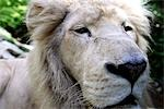 France, Centre, Saint Aignan, zoo of Beauval, white lion Stock Photo - Premium Royalty-Freenull, Code: 610-03503692