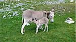 France, donkeys Stock Photo - Premium Royalty-Freenull, Code: 610-03504073