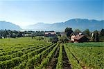 Switzerland, vineyards Stock Photo - Premium Royalty-Freenull, Code: 610-03504215