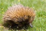 Echidna (Tachyglossus aculeatu), Kangaroo Island, South Australia, Australia, Pacific Stock Photo - Premium Rights-Managed, Artist: Robert Harding Images, Code: 841-03505814