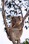 Koala (Phascolarctos cinereus), Kangaroo Island, South Australia, Australia, Pacific Stock Photo - Premium Rights-Managed, Artist: Robert Harding Images, Code: 841-03505816