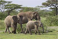 serengeti national park - Three African elephant (Loxodonta africana), Serengeti National Park, Tanzania, East Africa, Africa Stock Photo - Premium Rights-Managednull, Code: 841-03505922