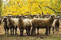 Domestic Sheep, Hawke's Bay, North Island, New Zealand Stock Photo - Premium Royalty-Freenull, Code: 600-03508325