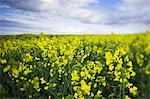 Canola Field, Scotland, United Kingdom Stock Photo - Premium Rights-Managed, Artist: Tim Hurst, Code: 700-03508680