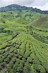 Tea plantation, BOH Sungai Palas Tea Estate, Cameron Highlands, Perak state, Malaysia, Southeast Asia, Asia