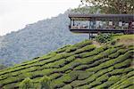 Tea shop on a tea plantation, BOH Sungai Palas Tea Estate, Cameron Highlands, Perak state, Malaysia, Southeast Asia, Asia