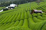 Rows of green tea bushes growing on the Makinohara tea plantations in Shizuoka, Japan Stock Photo - Premium Rights-Managed, Artist: Robert Harding Images, Code: 841-03520246