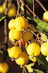 Yellow Crabapples on the Tree Stock Photo - Premium Royalty-Free, Artist: Visuals Unlimited, Code: 659-03523293