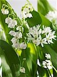 Ramsons and lily of the valley, flowering Stock Photo - Premium Royalty-Free, Artist: Matthew Plexman, Code: 659-03527138