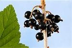 Blackcurrants on branch beside leaf Stock Photo - Premium Royalty-Freenull, Code: 659-03528986