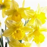 Flowering narcissi Stock Photo - Premium Royalty-Free, Artist: photo division, Code: 659-03533986