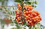 Rowan berries on branch Stock Photo - Premium Royalty-Free, Artist: Minden Pictures, Code: 659-03537492