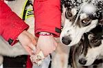 2009 Junior Iditarod musher checks a dog's paws prior to leaving the start on Knik Lake, Alaska Stock Photo - Premium Rights-Managed, Artist: AlaskaStock, Code: 854-03537956
