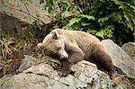 Brown Bear resting on a rock in the sun at Big River Lakes near Wolverine Creek in Southcentral Alaska during Summer Stock Photo - Premium Rights-Managed, Artist: AlaskaStock, Code: 854-03538247