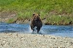 A Brown Bear Charges through the water at Mikfik Creek during Summer in Southwest Alaska. Stock Photo - Premium Rights-Managed, Artist: AlaskaStock, Code: 854-03538265