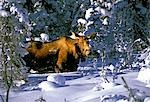 A moose belly deep in snow on the Kenai Peninsula in Southcentral Alaska. Stock Photo - Premium Rights-Managed, Artist: AlaskaStock, Code: 854-03538276