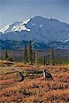 A bull caribou walks across the fall tundra with Mt. McKinley in the background in Denali National Park, Alaska. August/Sept. 2008 Stock Photo - Premium Rights-Managed, Artist: AlaskaStock, Code: 854-03538280