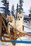 Two Siberian Husky puppies sitting in dog sled in snow Alaska Stock Photo - Premium Rights-Managed, Artist: AlaskaStock, Code: 854-03538291