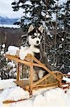 Siberian Husky puppy sits in dog sled in snow Alaska Stock Photo - Premium Rights-Managed, Artist: AlaskaStock, Code: 854-03538294