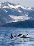 Pod of Orca whales surfacing in *Favorite Passage* of the Lynn Canal with Herbert Glacier and the Coastal Mountains in the background in Southeast Alaska Stock Photo - Premium Rights-Managed, Artist: AlaskaStock, Code: 854-03538356