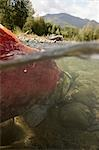 Spawned out Sockeye Salmon in Quartz Creek Kenai Peninsula Alaska Summer Underwater image Stock Photo - Premium Rights-Managed, Artist: AlaskaStock, Code: 854-03538366
