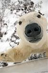 Close up of a Polar Bear's face looking up, sniffing and curious about photographer in tundra buggy at Churchill, Manitoba, Canada. Stock Photo - Premium Rights-Managed, Artist: AlaskaStock, Code: 854-03538395