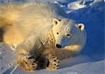 Polar bear laying in snow in evening light Churchill Manitoba Canada Stock Photo - Premium Rights-Managed, Artist: AlaskaStock, Code: 854-03538398