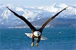 Bald Eagle in mid-air flight over Homer Spit w/talons down Kenai Peninsula Alaska Winter Stock Photo - Premium Rights-Managed, Artist: AlaskaStock, Code: 854-03538434