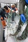 Commercial fisherman untangle sockeye salmon from a gillnet aboard a commercial fishing boat Bristol Bay Alaska Stock Photo - Premium Rights-Managed, Artist: AlaskaStock, Code: 854-03538513