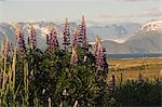 Lupine blooming on Homer Spit w/Kenai Mountains in background Kenai Peninsula Kachemak Bay Alaska Summer Stock Photo - Premium Rights-Managed, Artist: AlaskaStock, Code: 854-03539205