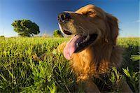 dog in heat - Golden Retriever in lush green meadow Stock Photo - Premium Royalty-Freenull, Code: 682-03553297