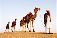 rajasthan camel - Four camels standing in a row with a man in a desert, Jaisalmer, Rajasthan, India Stock Photo - Premium Rights-Managednull, Code: 857-03553598