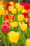 Close-up of Tulips, Mainau Island, Lake Constance, Baden-Wurttemberg, Germany Stock Photo - Premium Royalty-Free, Artist: F. Lukasseck, Code: 600-03573831