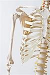 Midsection of an anatomical skeleton model