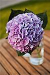 Hydrangea in Glass Vase Stock Photo - Premium Rights-Managed, Artist: Ikonica, Code: 700-03586304