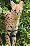 Serval cat (Leptailurus serval) Stock Photo - Premium Royalty-Freenull, Code: 621-03597809